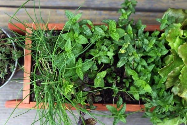 Urban herb garden after2