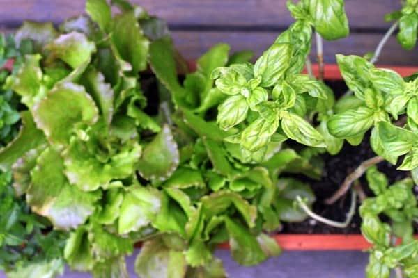 Urban herb garden after3